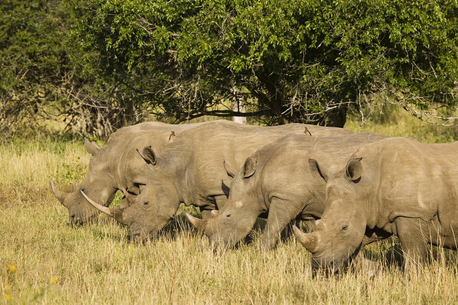 White Rhinoceros or Square-lipped Rhinoceros (Ceratotherium simum). Hluhluwe iMfolozi Park. KwaZulu NAtal. South Africa